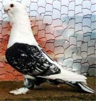 فروش انواع کبوتر نقشی خارجی