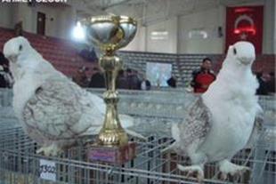 خرید و فروش انواع کبوتر