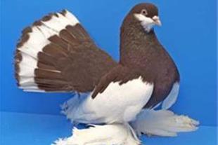 بهترین نژادهای کبوتر