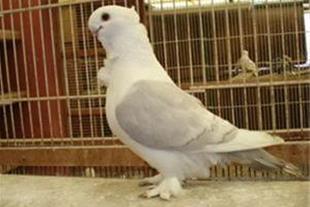 پرورش و فروش کبوتر چین دار شرقی