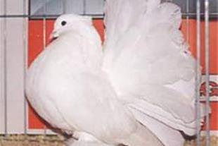 تولید ، فروش و پرورش انواع کبوتر