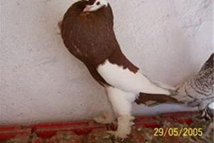 فروش انواع کبوتر