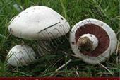 لوازم قارچ بذر قارچ کمپوست خاک پوششی قارچ دکمه ای