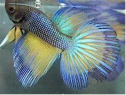آموزش پرورش ماهیان زینتی ( آکواریومی ) - 1