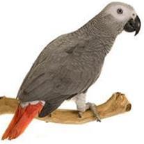 پرنده فروشی طوطی کاسکو کاکادو جوجه سخنگو
