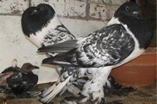 فروش ویژه کبوتران تزئینی