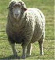 فروش دام زنده ، گوسفند زنده ، گاو زنده