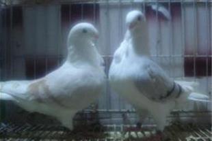 فروش کبوتر هومر دوکت