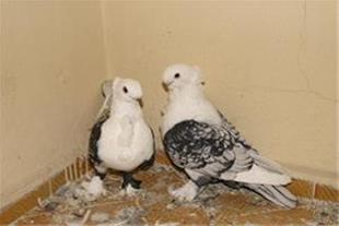 فروش ویژه کبوتر چین دار شرقی