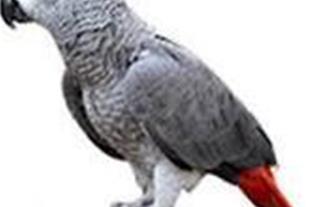کاسکو جوجه چشم سیاه حلقه پای جامبو اروپایی