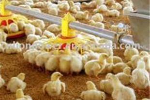 مجبورکردن مرغ به غذاخوردن بزرگترین اشتباه مرغدار!