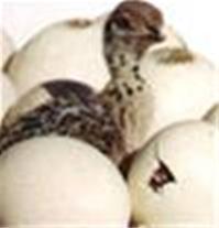 فروش شتر مرغ 20روزه و2ماهه