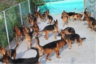 فروش سگ ژرمن شپرد کلاس 1 با صدور برگه استاندارد