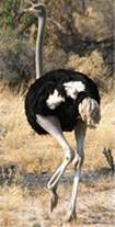 شترمرغ کشتاری