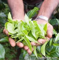 سفیدی پوست با کرم روشن کننده گیاهی چای سبز