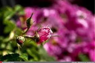 تور گلابگیری کاشان  یک روزه ویژه بهار 93