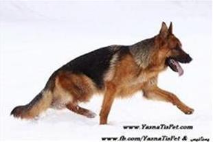 فروش سگ ژرمن و رتوایلر