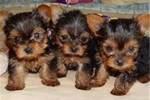 خرید و فروش حیوانات ، سگ گارد ، سگ شکاری