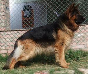 خرید و فروش سگ ژرمن شپرد اصیل - 1