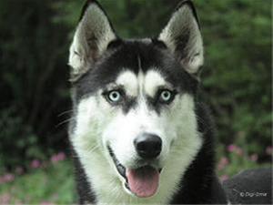 فروش ویژه سگ سیبرین هاسکی - 1