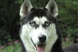 فروش ویژه سگ سیبرین هاسکی