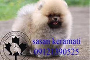 فروش پامرانیان وارداتی به همراه مدارک 9121390525