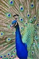 فروش پرندگان زینتی - 1