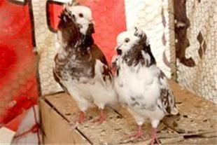 فروش  تعدادی کبوتر هلندی