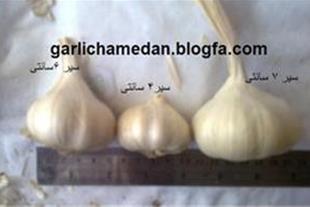 فروش بذر سیر سفید و قرمز
