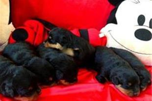 فروش توله سگ های روتوایلر با مدارک بین المللی