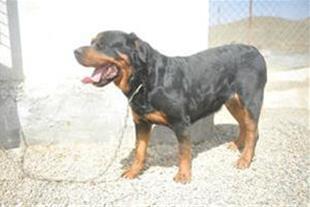 بزرگ ترین مرکز پروش بهترین سگ های نگهبان در ایران