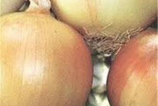 بذرپیاز زرد شرکت سیب سبز