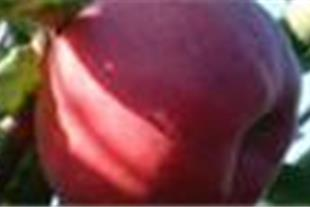 نهال درختان میوه  نهال درخت  نهال گوجه  نهال بادام