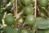 ماکادمیا، ایران درخت