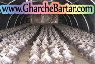 فروش کمپوست و خاک پوششی قارچ دکمه ای زیر قیمت