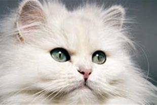فروش توله پرشین  کت نر سوپر فلت سفید و رد پوینت