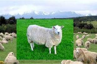 صادرات گوسفند ارمنستان