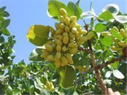 فروش بذر پسته  درجه 1 جهت کاشت درخت  پسته - 1