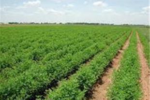 150 هکتار زمین کشاورزی