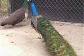 فروش طاووس