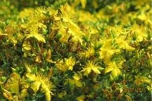 فروش بذر گل راعی (هوفاریقون)