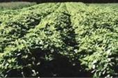 فروش بذر بادرنجبویه (ملیس)/گیاهان دارویی/