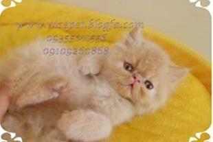 فروش توله گربه های پرشین