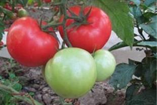 فروش بذر گوجه گلخانه ای