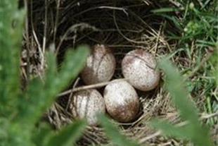 فروش تخم کبک