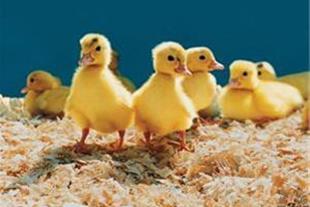 جوجه اردک بومی