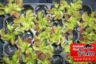 فروش عمده بذر گل گوشتخوار اصلی