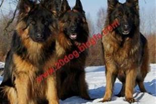 فروش تخصصی سگ هاسکی ژرمن شیپرد روت وایلرسگ نگهبان
