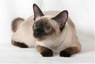 فروش گربه سیامی ,فروش گربه