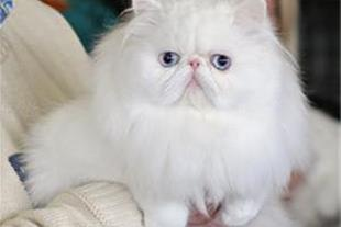 فروش پرشین کت ، فروش گربه